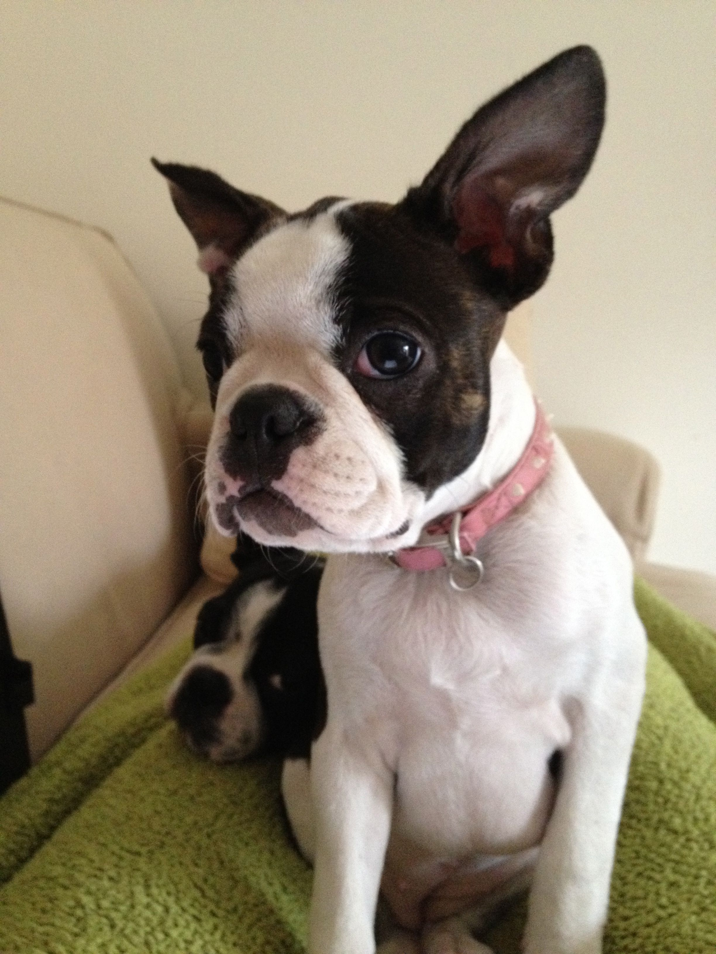 My Boston Terrier Arabella Boston Terrier Terrier Animals