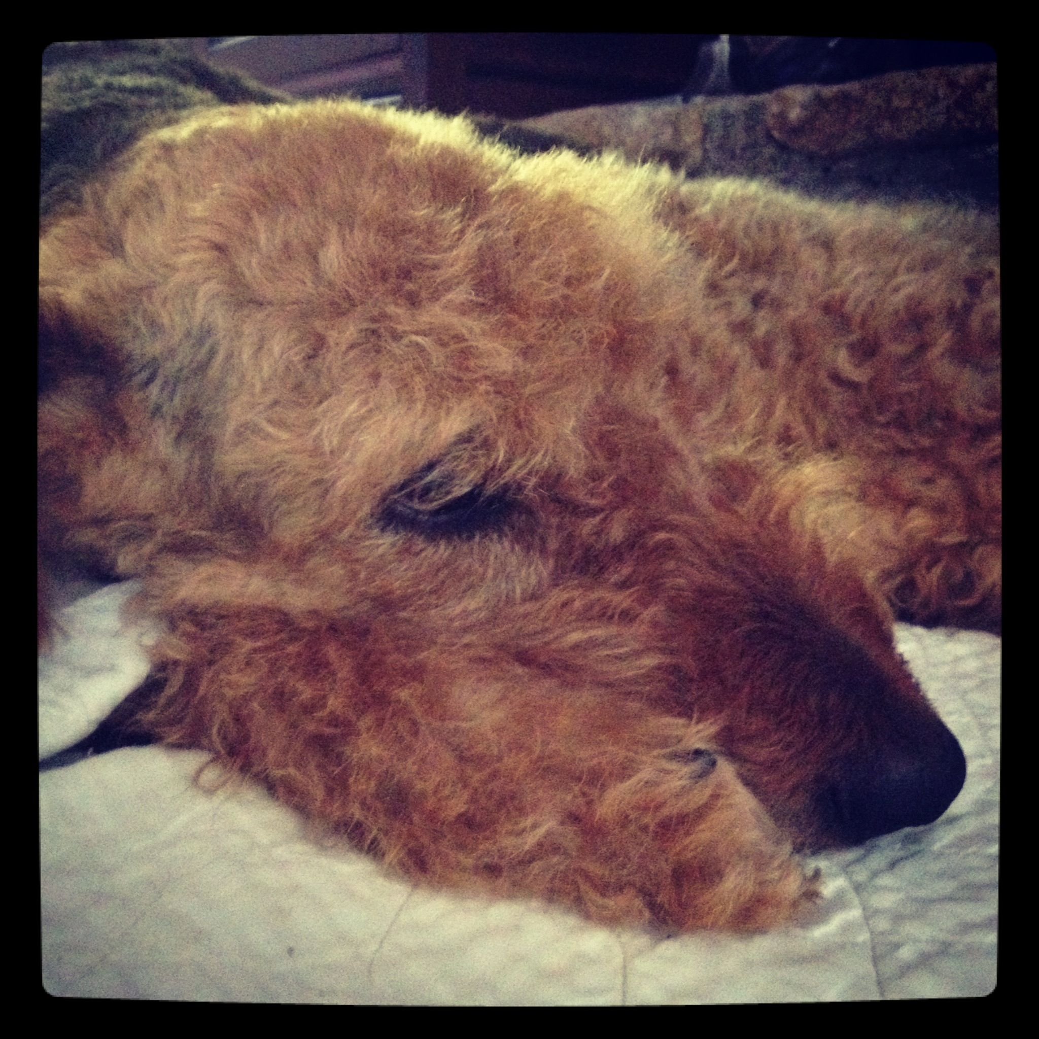 Sweetdog! Airedale terrier