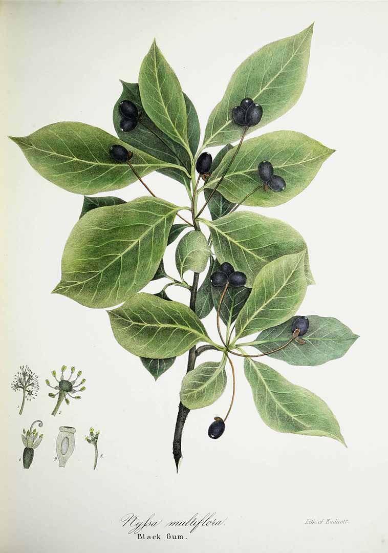 Tupelo Aka Blackgum Nyssa Sylvatica As Nyssa Multiflora Tupelo Tree Native Plants Plant Leaves