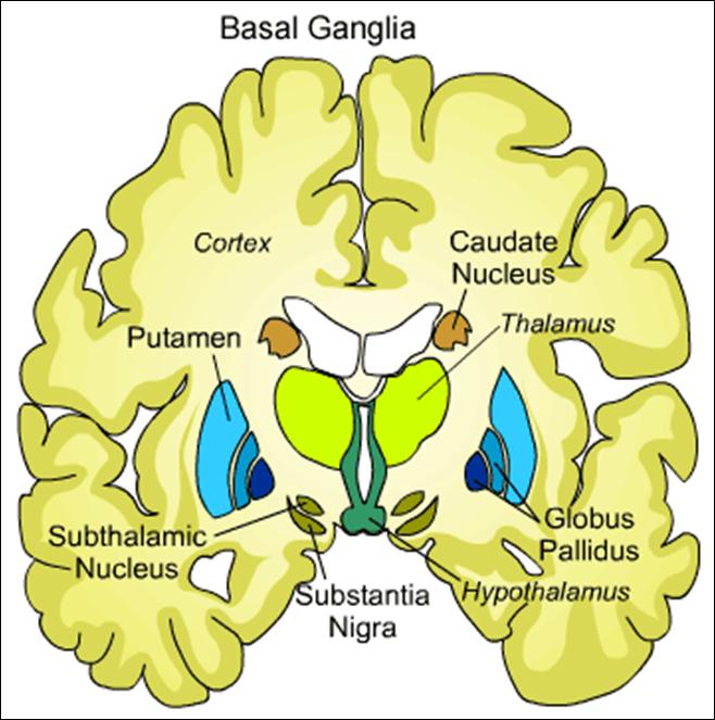 Image Result For Globus Pallidus Internus Medicine Compendium