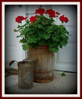 Red  Geraniums...