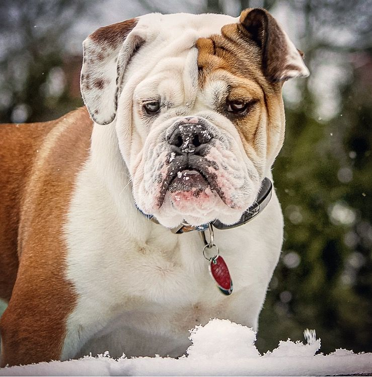 English Bulldog (Diezel 6 months)