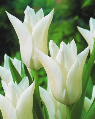 tulipa white triumphator