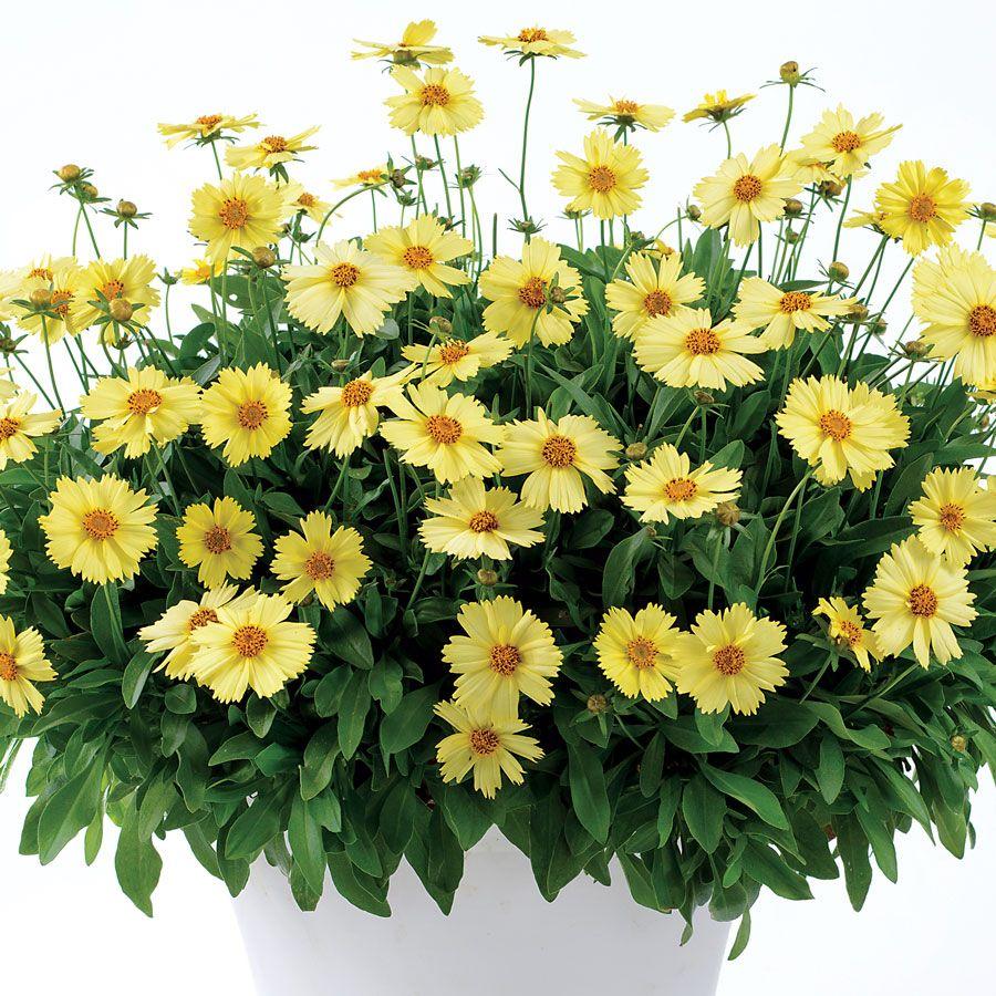 Coreopsis Solanna™ 'Glow' Coreopsis flower, Garden