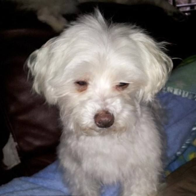 Lost Dog- Shakopee- Maltese- Male Medical Date Lost: 04-13-2018 Dog's Name:  Chomper Breed of Dog: Maltese Gender: Male Closest Intersection: Fuller ...