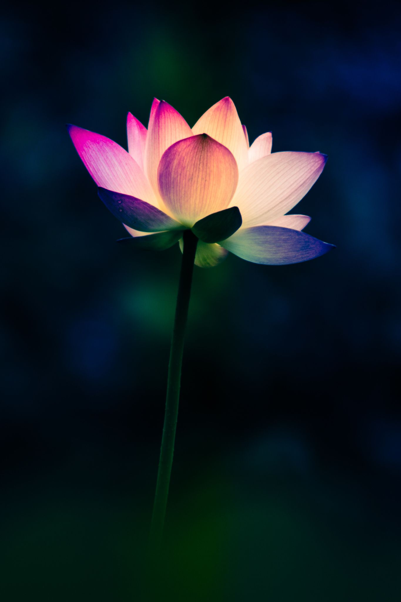 Rainbow Lotus By Ng Wai Chor On 500px Photography Pinterest