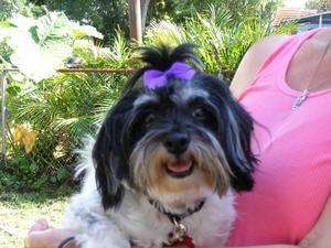 Leila Is An Adoptable Havanese Dog In Sarasota Fl Leila Is An