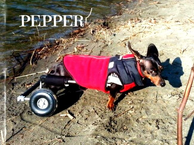 Dog Strollers For Dachshunds Meet Pepper 55th Recipient Of A Wheelchair From The