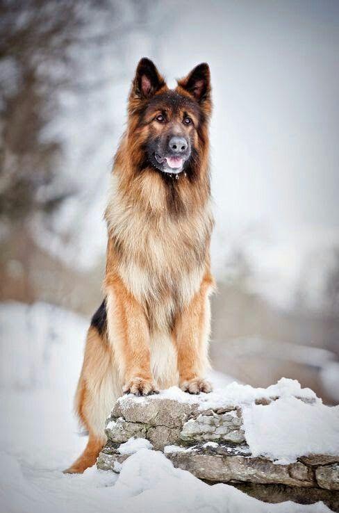 I love German Shepherd | Немецкие овчарки | Немецкие ...