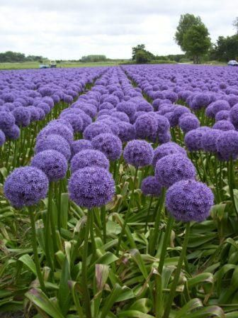 Giant Allium Field Allium Flowers Beautiful Flowers Purple Flowers