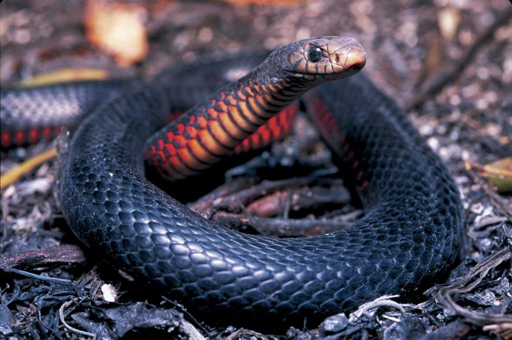Red Bellied Black Snake Snake Cool Snakes Scary Animals