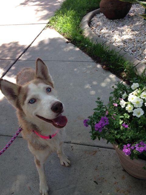 Newly Rescued Florida Siberian Husky Ella For Adoption In Fl