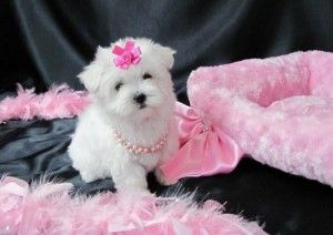 Well Trained Male And Female Baby Face Maltese Puppies For