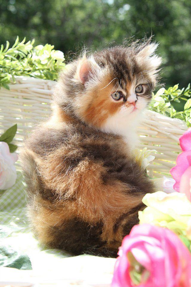 Calico Tabby Teacup Persian Kitten Beautiful cats