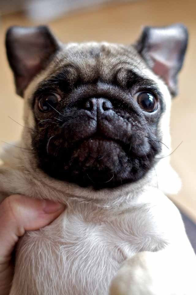 Aw Want One Cute Pugs Pugs Pug Puppy