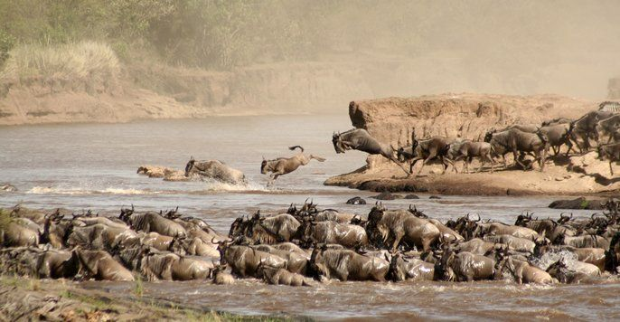 The great migration is one of the most impressive natural events worldwide, involving about 1,300,000 Wildebeest, 360,000 Thomson's Gazelle, and 191,000 Zebra. These numerous migrants are followed along their annual route by predators, most notably lions and hyena.