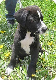 West Los Angeles Ca Pointer Australian Shepherd Mix Meet Seeger A Puppy For Adoption West Los Angeles Puppy Adoption Labrador Puppy