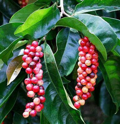 Bugnay Berries Sayuran Buah Tanaman