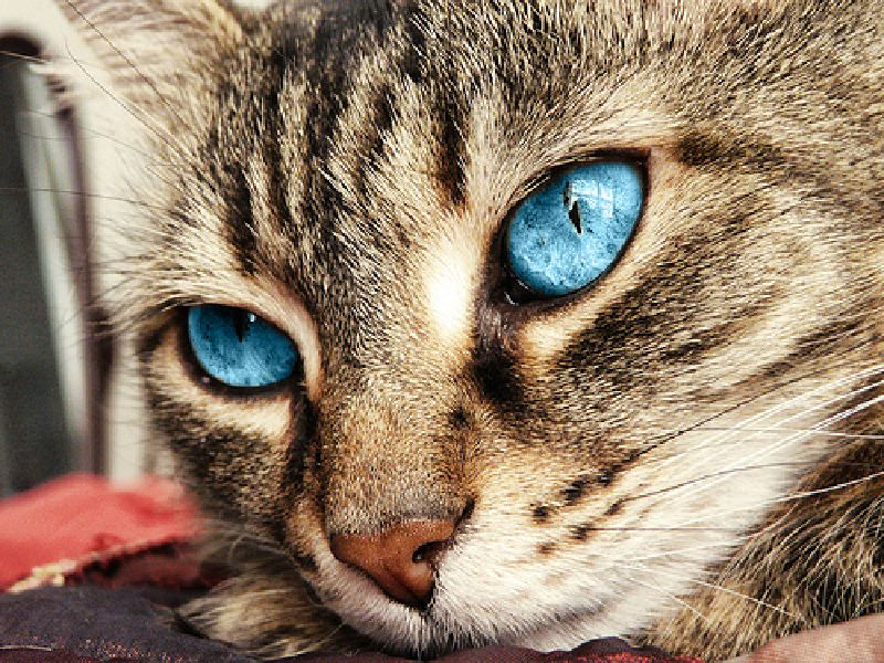 Beautiful Cat Eyes cat with stunning ice blue eyes