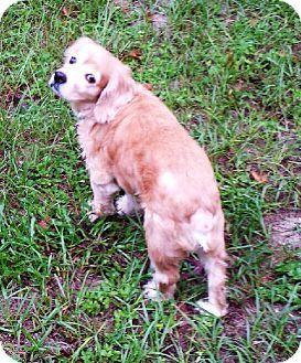 Brooksville Fl Cocker Spaniel Mix Meet Sophie A Dog For Adoption Http Www Adoptapet Com Pet 11666113 Brooksville Pets Cocker Spaniel Cocker Spaniel Mix