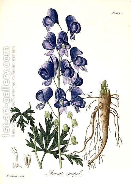 Aconitum Napellus From Phytographie Medicale Painting By L F J Hoquart Reproduction 1st Art Gallery Flower Drawing Botanical Illustration Plant Drawing