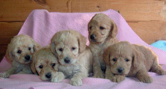 Cavachon & Cavanese Puppies Baltimore MD | Gleneden Cavachons