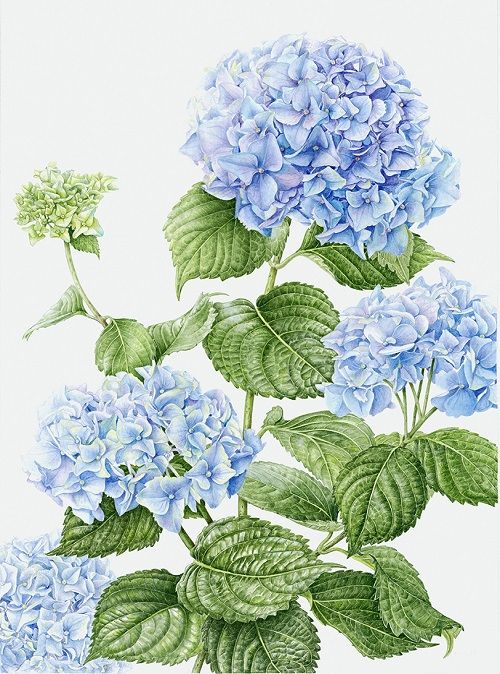 Blue Hydrangea Botanical Drawings Botanical Painting Flower Drawing
