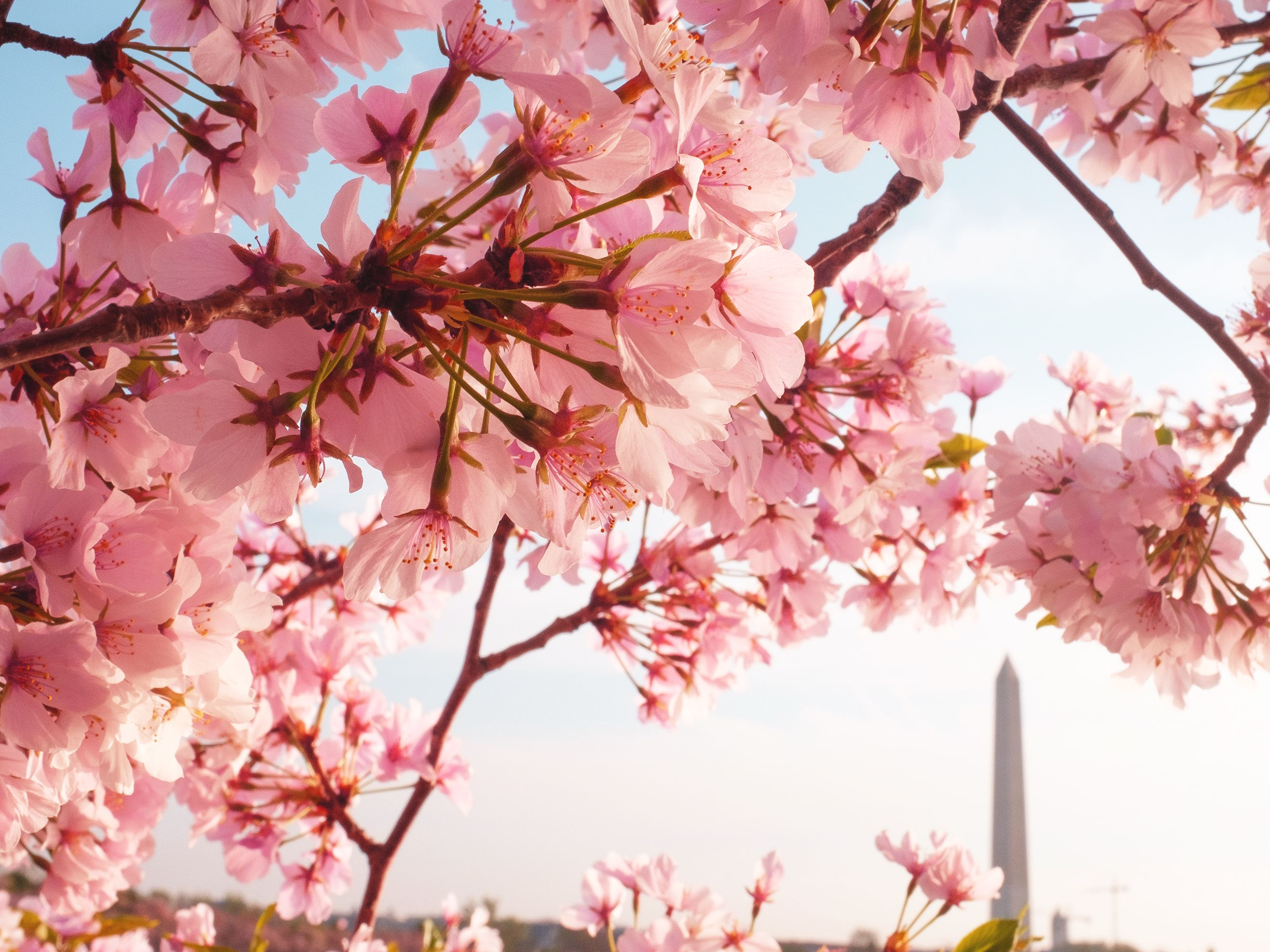 These Are The Four Best Cities To See Cherry Blossoms In 2019 Cherry Blossom Cherry Blossom Season Blossom