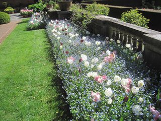 While some tulip beds have faded, several are at their showiest this week.  The mix of parrot tulips ('Silver', 'White', 'Black' and 'Blue') just keeps getting better and better.