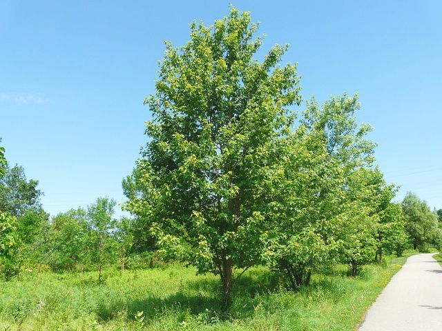 Image Result For Manitoba Maple Tree Tree Id Nature Tree Fruit Garden