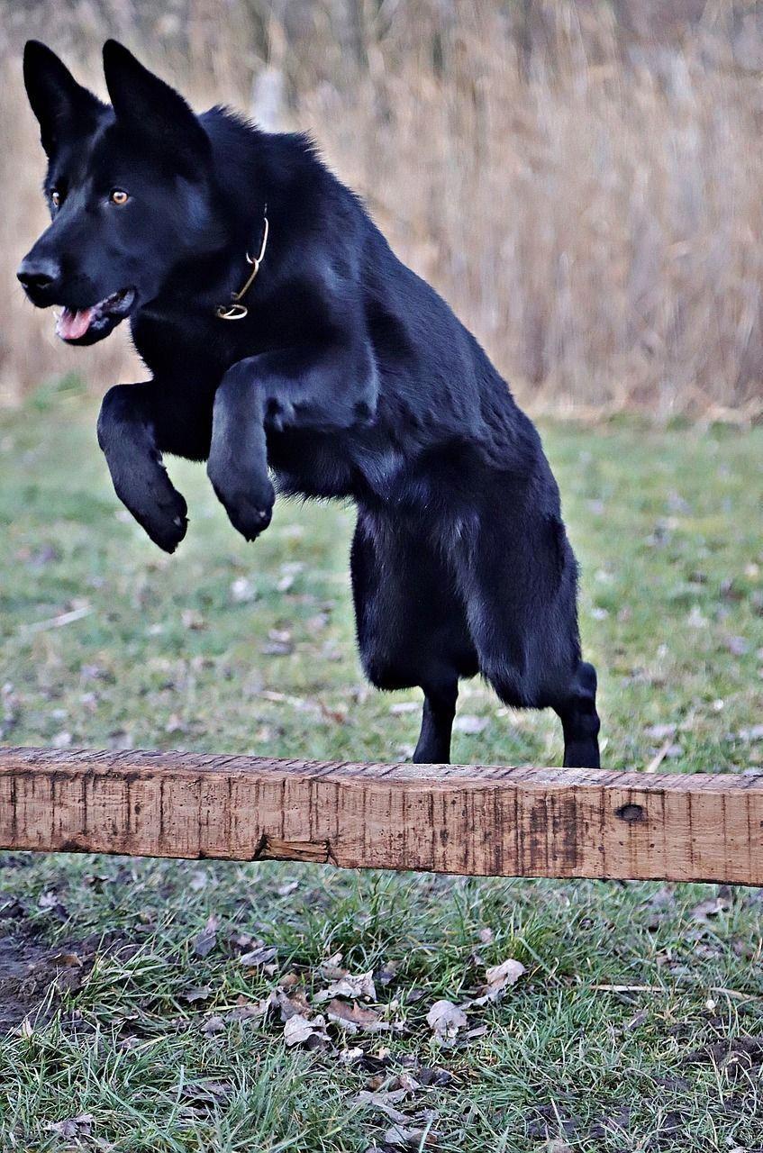 Black German Shepherd Puppies Illinois Ideas