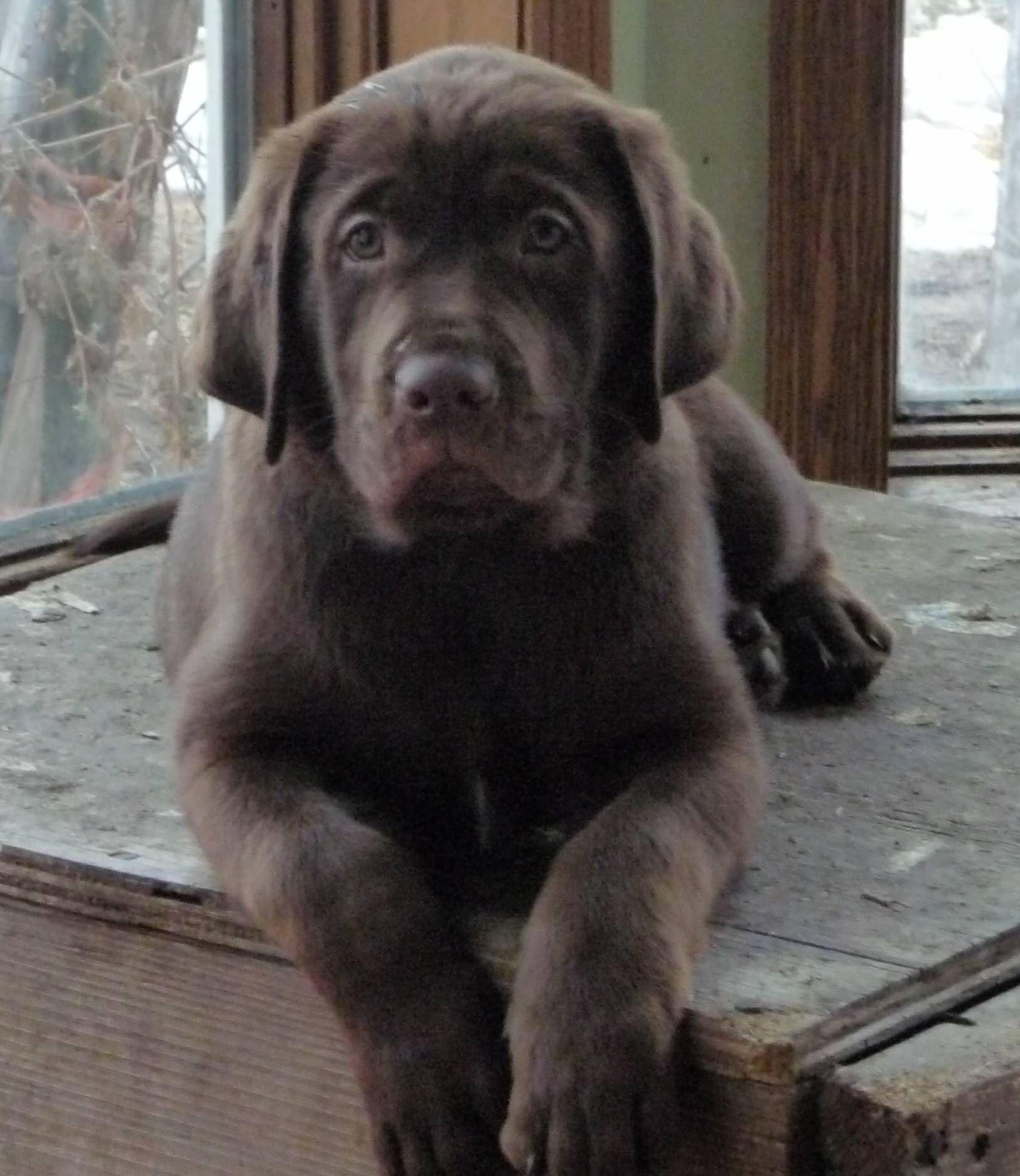 My Puppy Is Gonna Get So Big Family Mastador Puppies Mastador