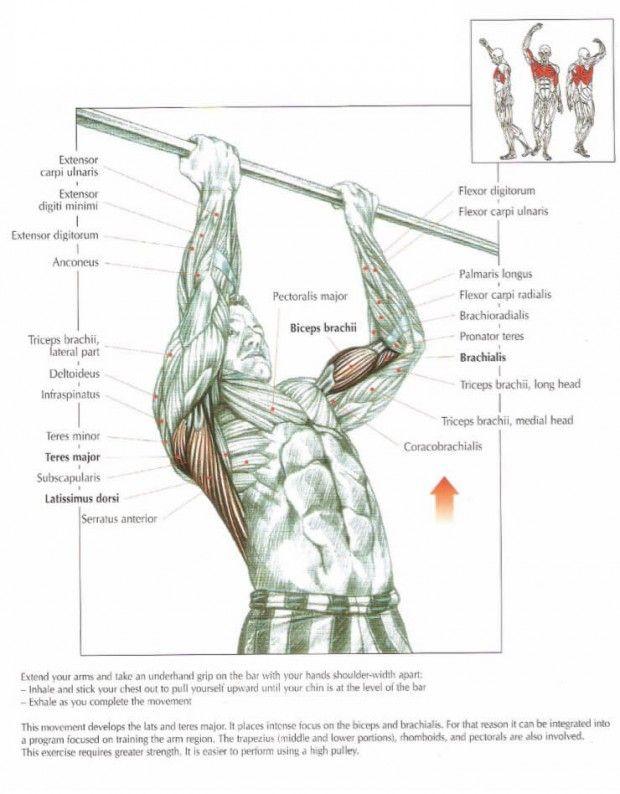 The ANATOMY of Chin Ups Exercise   Anatomy   Pinterest   Anatomy ...