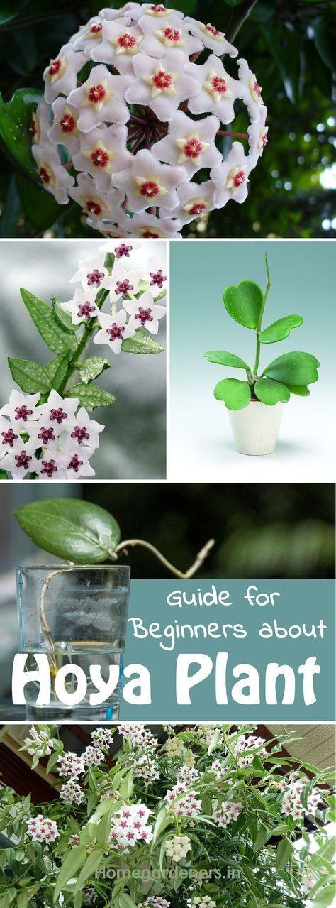 Photo of Der komplette Leitfaden für Anfänger über die Hoya-Pflanze