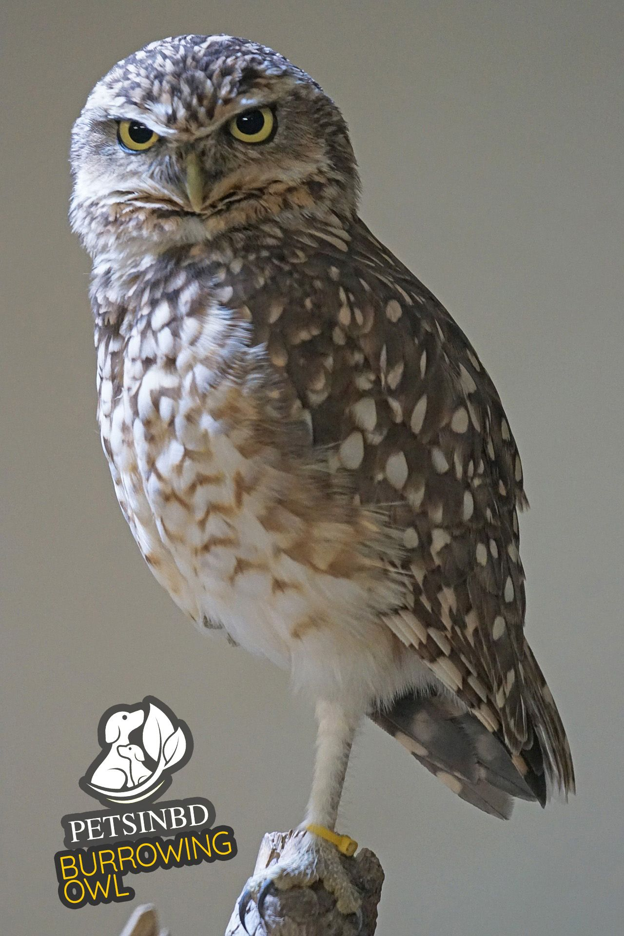 The burrowing owl can be found in North America and some