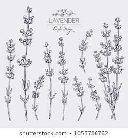 Collection of lavender: twig, lavender flowers and leaves ... |Lavender Tattoo Outline