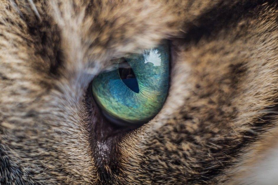 Why Do My Cat's Eyes Water? Kitten eye infection, Pet corner
