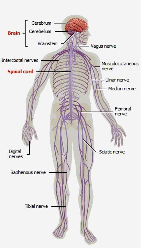 Diagram of arm nervous system diy wiring diagrams nerves system graphics and pictures nervous system projects to rh pinterest com peripheral nervous system diagram somatic nervous system diagram ccuart Image collections