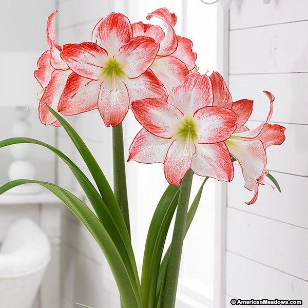 Hippeastrum Minerva Minerva Amaryllis Amaryllis Plant Amaryllis Bulbs Amaryllis
