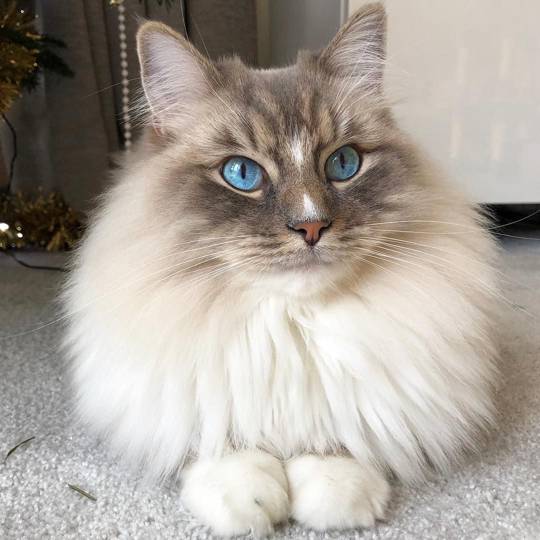 Ragdoll Cats With Blue Eyes Cat Aesthetic Cat With Blue Eyes