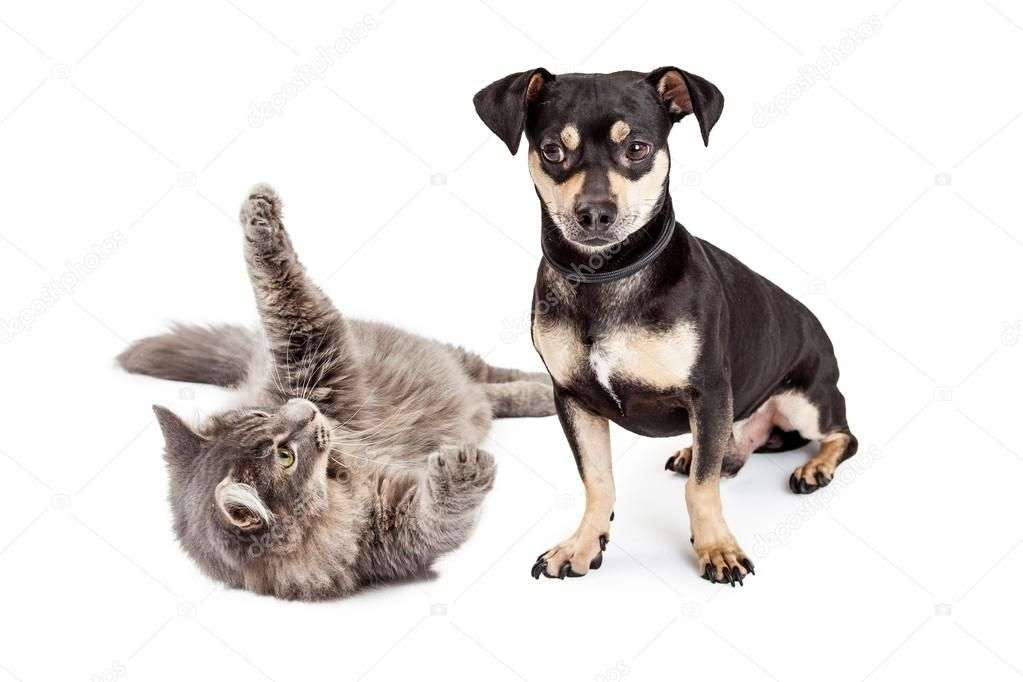 Dog Annoyed With Playful Cat - Stock Photo , #sponsored, #Playful, #Annoyed, #Dog, #Photo #AD