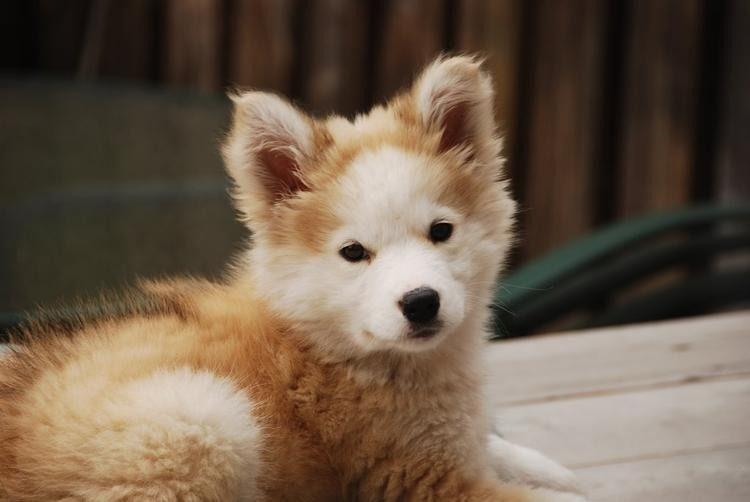 Golden Retriever Siberian Husky Mix Oh My Cute Animals Golden