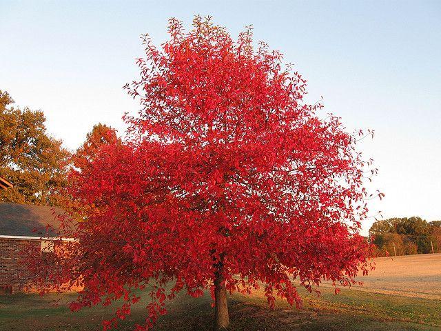Black Gum tree Thuja green giant, Dogwood trees, Red dogwood