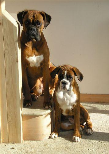 Megs Georgia Funny Boxer Dogs Boxer Dogs Boxer Boxer Love
