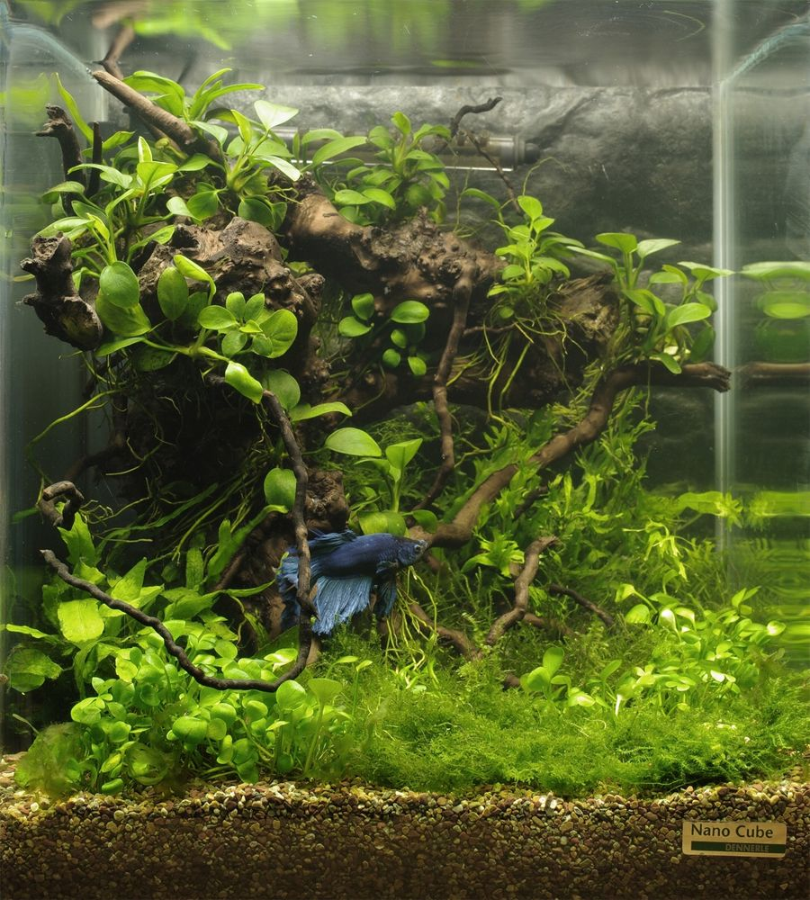 Freshwater fish tank live plants - Betta Nano Cube With Driftwood And Live Plants Purchase Driftwood For Your Aquarium At Www