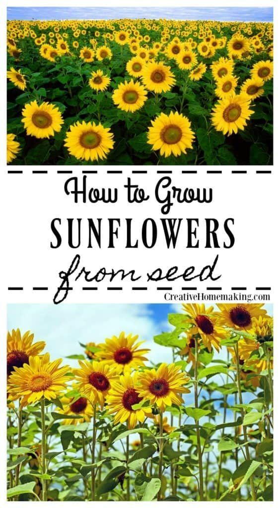 Easy tips for growing sunflowers from seed. #flowergarden #sunflower #flowers #gardening #gardeningtips #creativehomemaking #Gardening for beginners Growing Sunflowers from Seed - Creative Homemaking