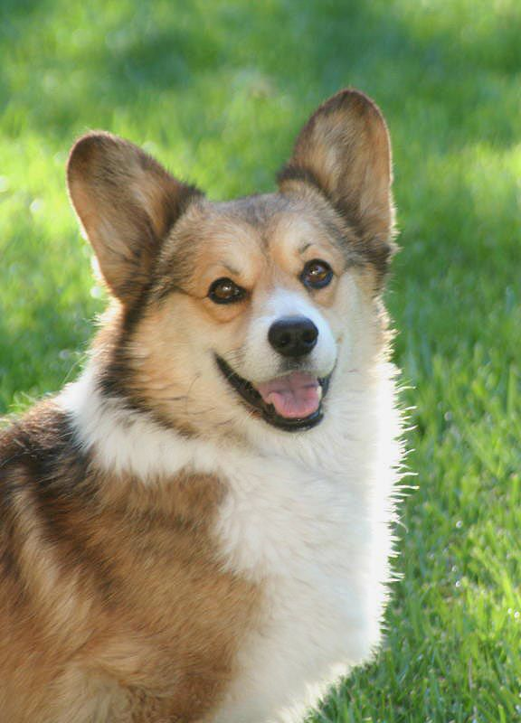 Pembroke Welsh Corgi Alert And Affectionate Corgi Dog Corgi Cute Corgi