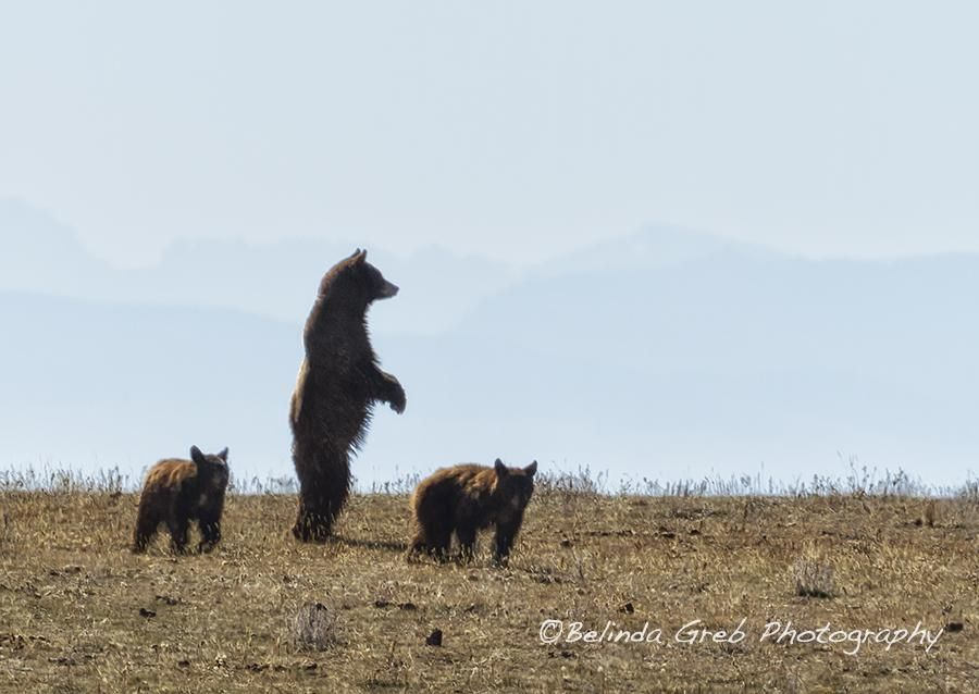 "Belinda L Greb on Twitter: ""Unexpected excitement at Pryor Mountain - mother #bear and her cubs http://t.co/hPipcGBmUK #wildlifephotography http://t.co/6P3Rmn8JAV"""
