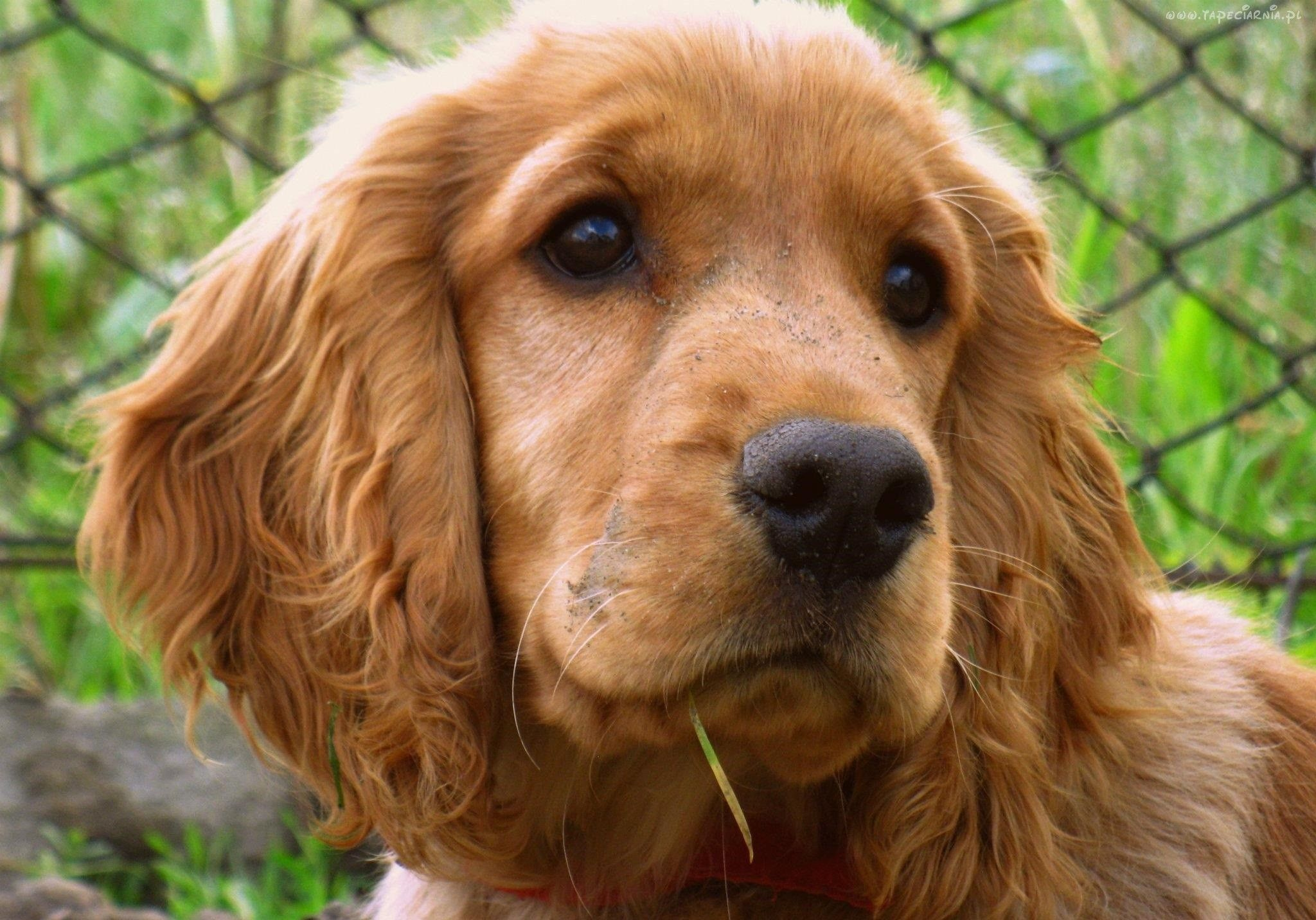 It is a spaniel kind dog that is certainly closely related - Free cocker spaniel screensavers ...