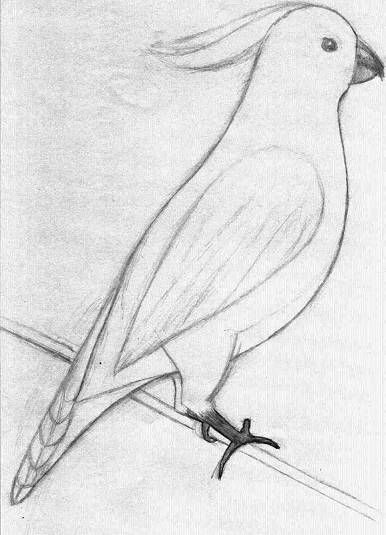 Easy sketches of animals golden crested cockatoo this one should be fun